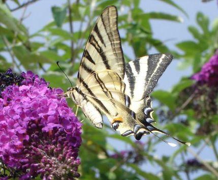 buddleya_arbre_aux_papillons