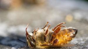 abeille_morte