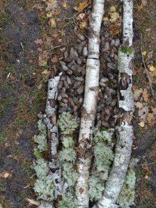 lichen-bouleau